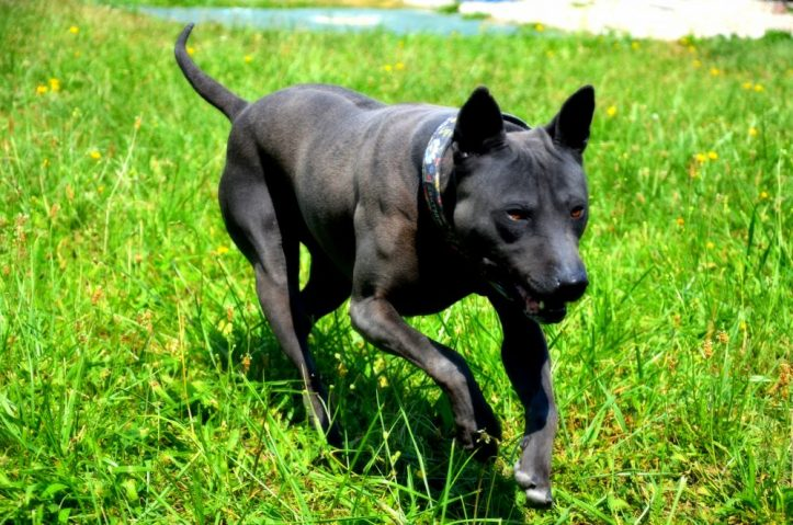 black Thai Ridgeback Dog