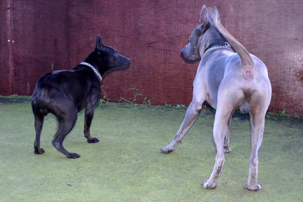 black and blue thai ridgeback