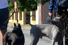 thai ridgeback dog colours