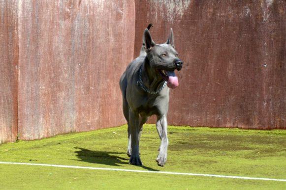 blue thai dog