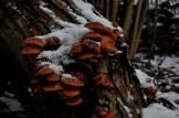 verschneite Pilze