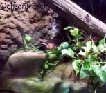 Der Antillen-Ochsenfrosch - In seiner Heimat ausgestorben, weil er angeblich so gut schmeckt :-(