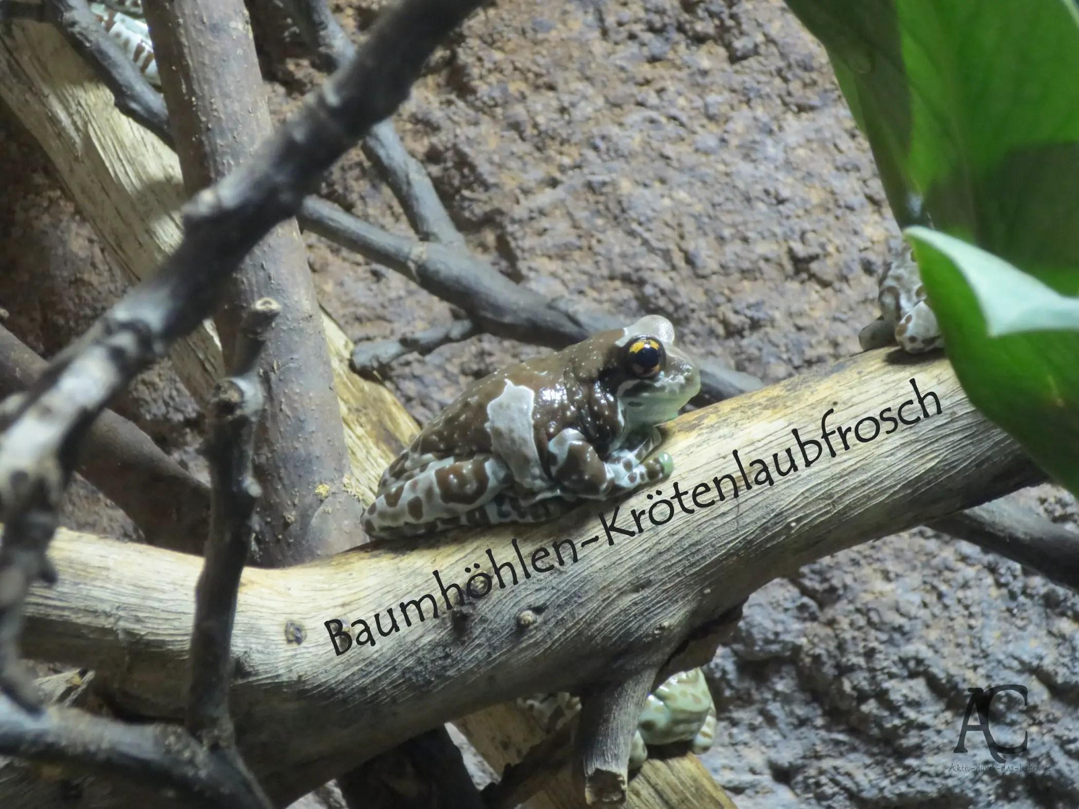 Der Baumhöhlen-Krötenlaubfrosch lebt im Regenwald und hat uns die ganze Zeit nur angegrinst.