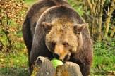 Großer starker Bär