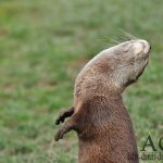 Der Otter