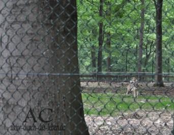 Ein Leih-Wolf