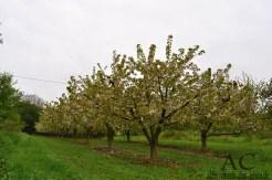 Und überall Obstbäume