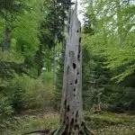 Totholz mit Spechtlöchern
