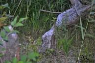 Und wir fanden seine abgenagten Bäume :-)