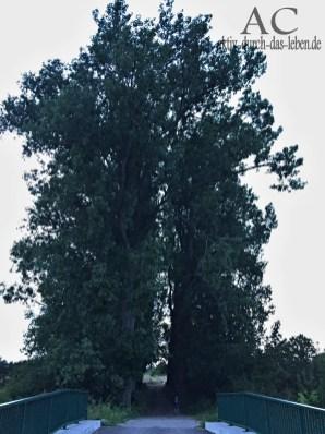 Riesengroße Bäume bei der weißen Brücke