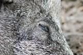 Schlafendes Wildschwein