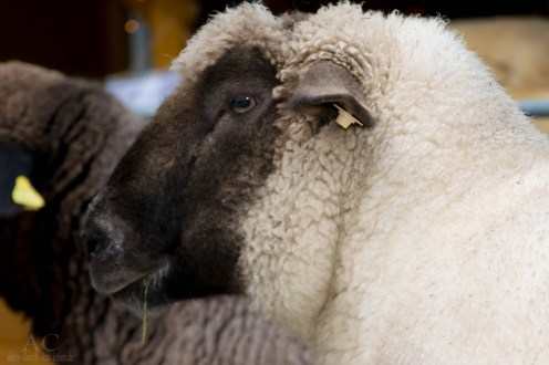 Ein Schaf der lebenden Krippe