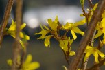 Auch Forsythien blühen normal zum Mandelblütenfest, hier 25.03.2012