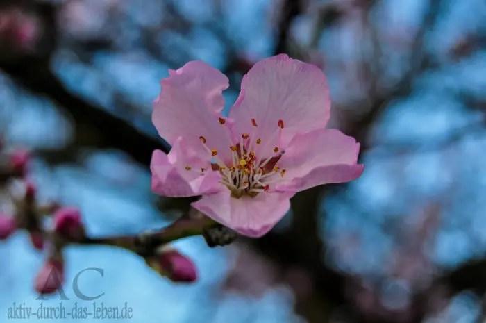 Mandelblüte Gimmeldingen
