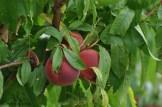Wunderschöne Pfiriche sahen wir unterwegs auch.