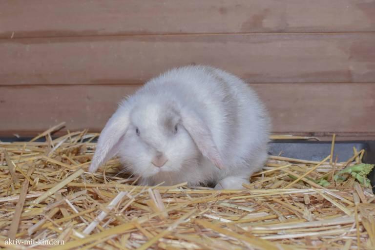 Kaninchen Zwergwidder
