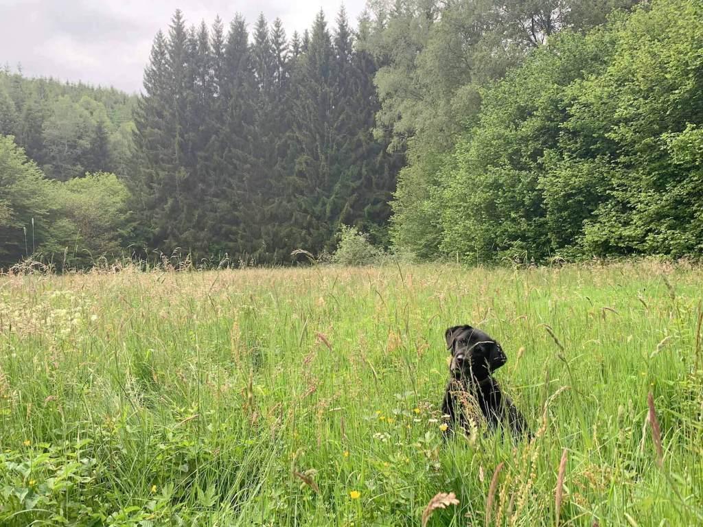 Labrador beim Spaziergang