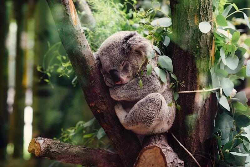 Nechutná fakta o koalach