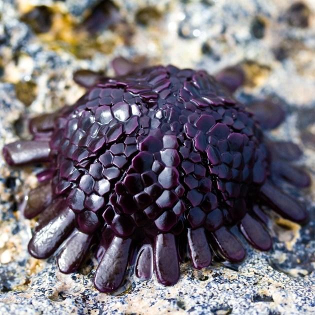 Colobocentrotus atratus - Migferli deniz kestanesi