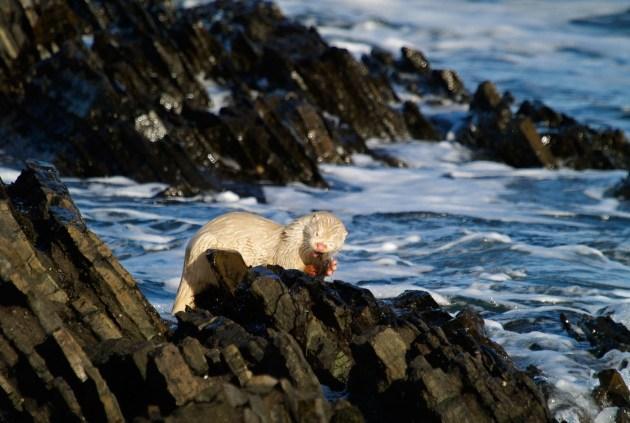 Albino Deniz Samuru - Enhydra lutris