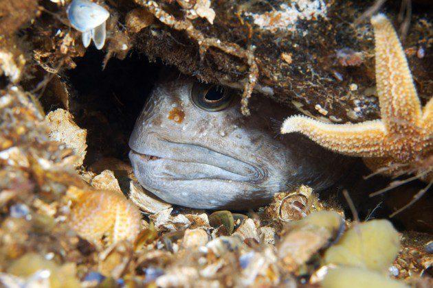 Anarhichas lupus - Atlantik Kurt Balığı Ergin Birey