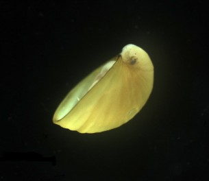 Lepetodrilus limpet