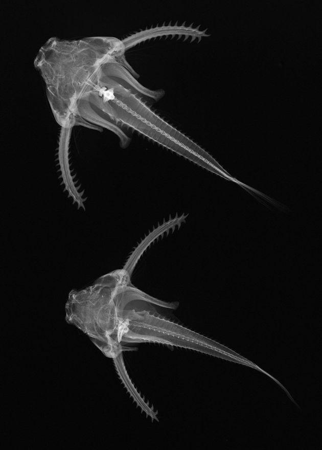 Balıkların X-ray Görüntüleri - Physopyxis lyra