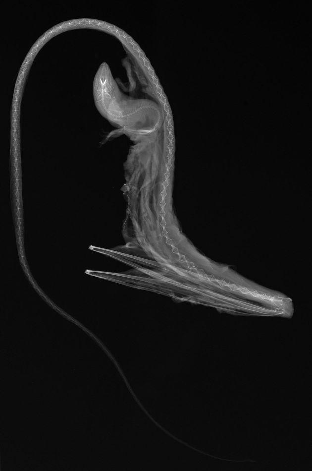 Balıkların X-Ray Görüntüleri: Eurypharynx pelecanoides