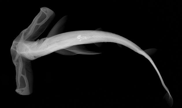 Balıkların X-Ray Görüntüleri: Eusphyra blochii