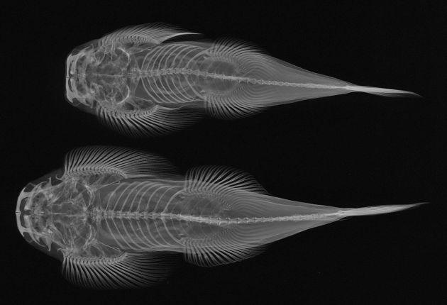Balıkların X-Ray Görüntüleri: Gastromyzon
