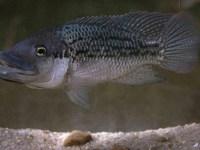 Oreochromis mossambicus