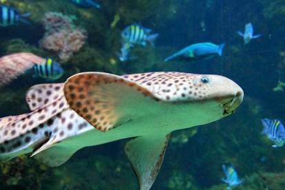 Kedi Balığı - Scyliorhinus stellaris