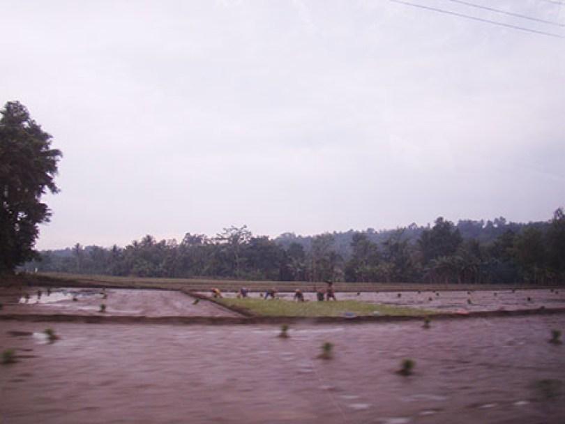 Pesawahan sepanjang jalan menuju Leuwidamar