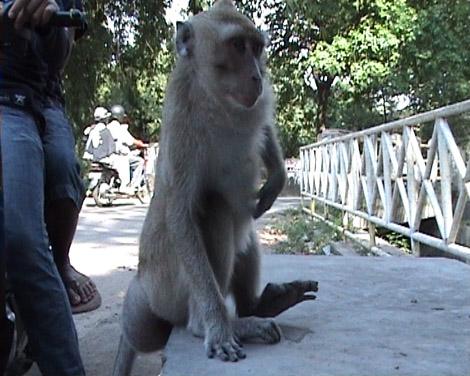 monyet kalijaga, jinak terhadap manusia
