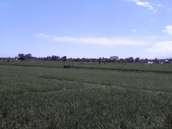 The rice field area which was rumored to be the mini airport.