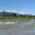 北アルプスの清水で育てた安曇野産自家製コシヒカリ 定期販売あり