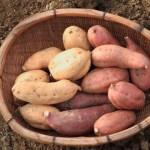 ・濃厚な甘さが特徴の安納芋2種類をセット。ねっとりとした食感が特徴。