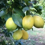 レモン 4㎏ 22個~32個 1個150g前後 エコファーマーが育てた安全なレモン。