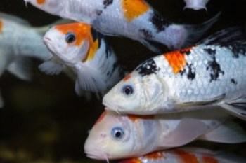 Семейство карповых рыб:один большой карп кои на фоне других карпов кои черно-бело-оранжевого цвета