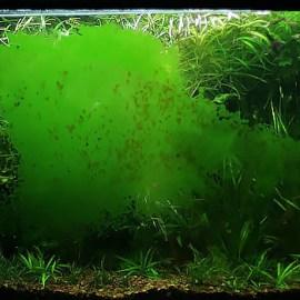 Zelená prachovitá riasa Zdroj: greenaqua.hu