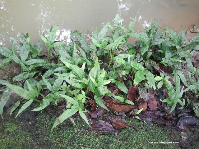 Javabregner i deres naturlige habitat