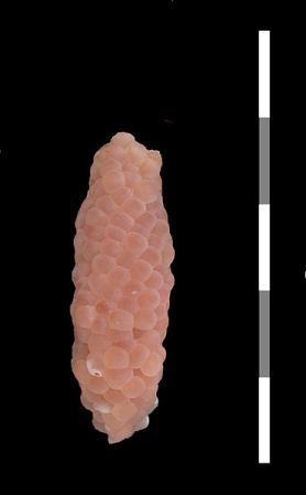 Eggklase fra eplesnegle (Pomacea diffusa)