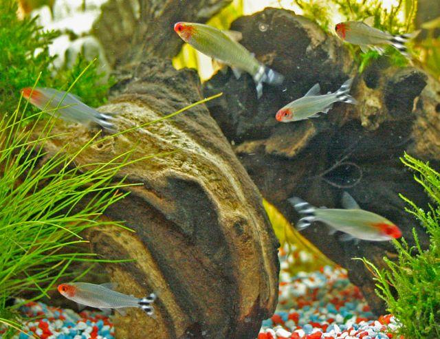 Rødmunntetra (Hemmigrammus bleheri)