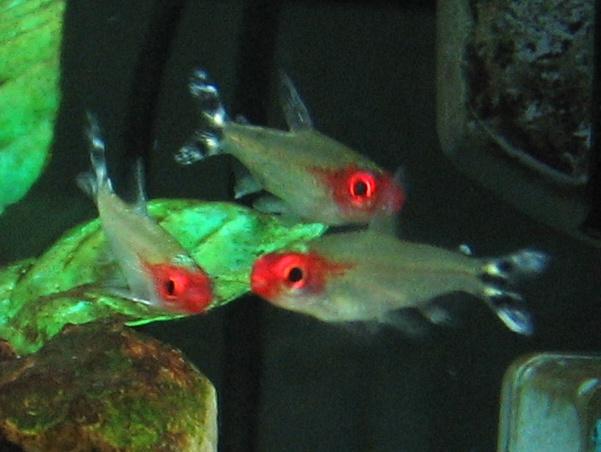 Rødmunntetra (Hemigrammus bleheri)