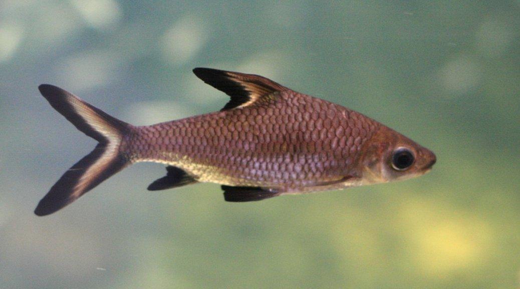 Sølvhai (Balantiocheilos melanopterus)