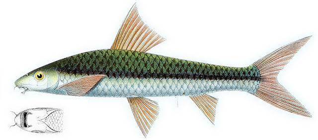 Siamesisk algeeter (Crossocheilus oblongus).