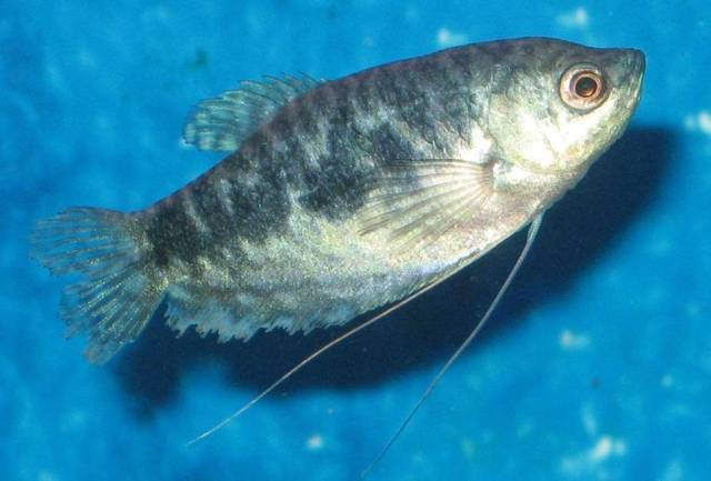 Blå gurami (Trichopodus trichopterus) - oplaine fargevariant