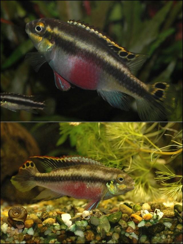 Palettciklider; hunn øverst og hann nederst