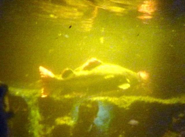 Red tail (Phractocephalus hemioliopterus) i et akvarium med mye svevealger