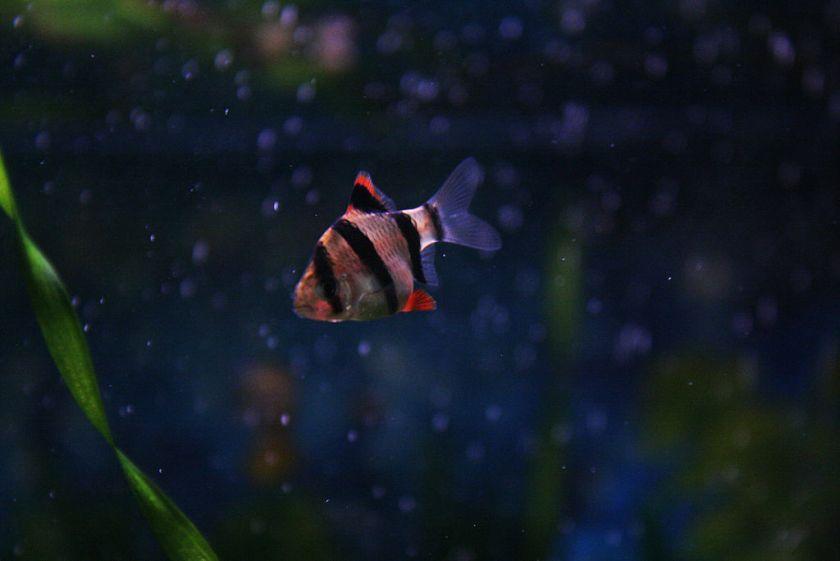 Tigerbarbe (Puntigrus tetrazona)